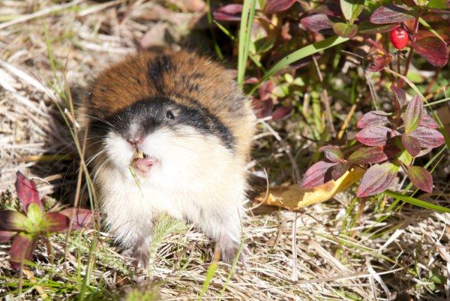 Norwegian lemming